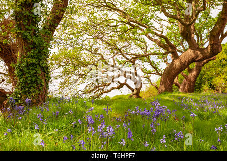 Colour landscape photograph of carpet of spanish bluebells in bloom under windswept trees in background, Taken in Poole, Dorset, England. - Stock Photo