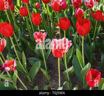 Red tulip with white edges in a spring park - Stock Photo