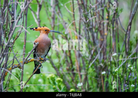 Eurasian hoopoe or Upupa epops perches on twig in steppe - Stock Photo