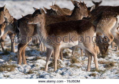 Red and fallow deer herd in snow - Stock Photo