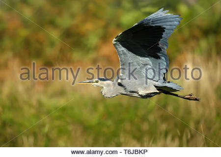 Close up of Grey heron in flight - Stock Photo