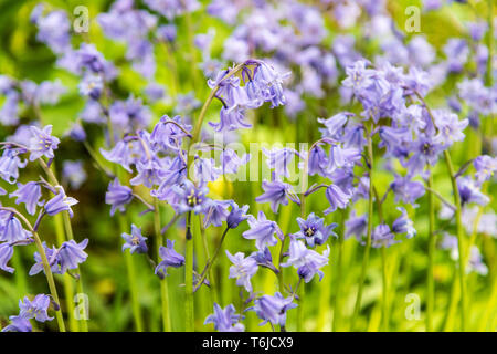 Hyacinthoides ( Bluebells ), flowering in the grounds of the Ulster American Folk Park, Omagh, County Tyrone, Northern Ireland. - Stock Photo