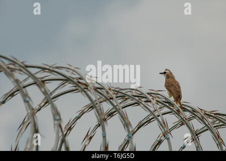 a white brown house sparrow with black eyes perched on barbed and rusty iron wire and was lurking on its food - Stock Photo