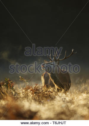 Red deer at dawn on a foggy autumn morning - Stock Photo