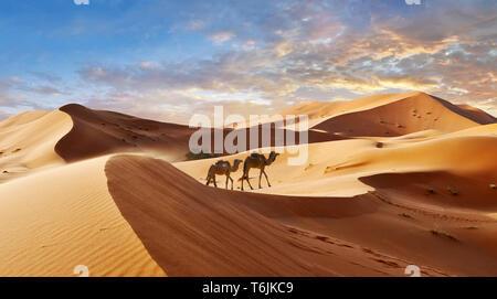Camels amongst the Sahara sand dunes of erg Chebbi, Morocco, Africa - Stock Photo