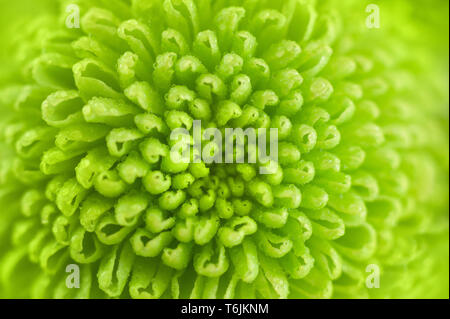 Green chrysanthemum close up. Fresh colorful image for your design. Macro image with small depth of field. - Stock Photo