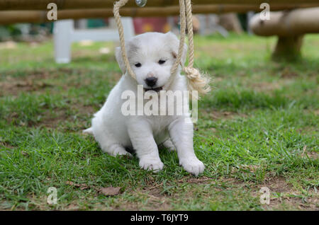Young white dog sitting in a park. Furry white puppy. - Stock Photo