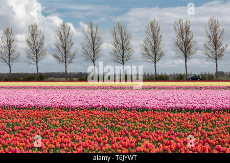 Dutch farmland with country road and colorful tulip field Stock Photo