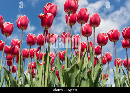 Beautiful bouquet of red tulips in spring time - Stock Photo