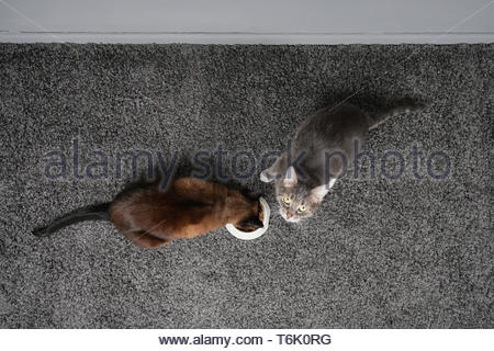 two cats eating from the same feeding bowl - Stock Photo