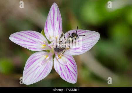 Sweat Bee, Lasioglossum sp., on Spring Beauty, Claytonia virginica - Stock Photo