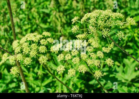 Angelica plan, umbelliferae  bloom - Stock Photo