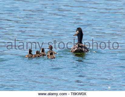 Mallard, Anas platyrhynchos, hen with ducklings swimming on pond in Arizona USA - Stock Photo
