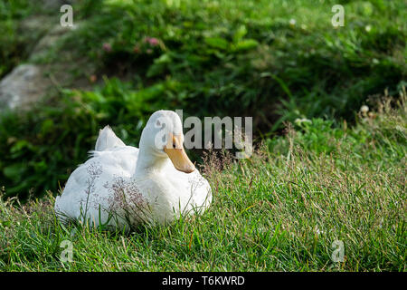 cute white domestic goose resting in a meadow - Stock Photo