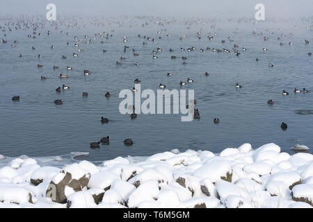 Winter landscape with eurasian coots swimming in a lake - Stock Photo