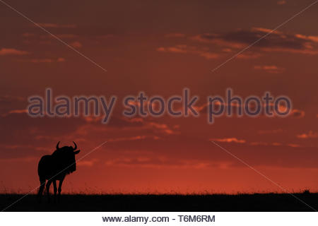 Blue wildebeest standing at sunset in silhouette - Stock Photo