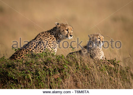 Cheetah and cub on mound in savannah - Stock Photo