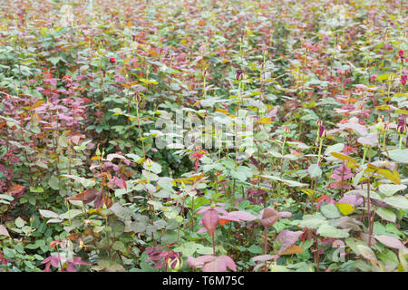 Rose cultivation in a Dutch greenhouse - Stock Photo