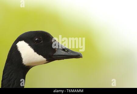 Close up portrait of Canada Goose ( Branta Canadensis) against leafy background. Midlands, UK, April 2019 - Stock Photo