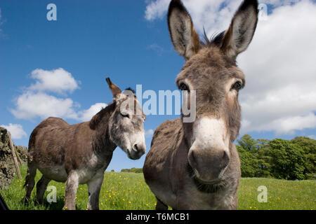 pair of donkeys in field (Moniaive, Dumfries & Galloway, Scotland) - Stock Photo