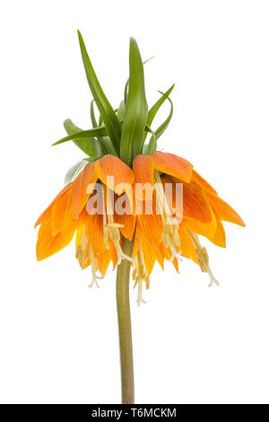 Imperial Crown (Fritillaria Imperialis) isolated on white background - Stock Photo