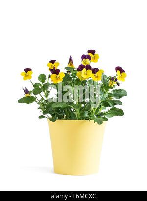 Heartsease flower in yellow vase isolated on white background - Stock Photo