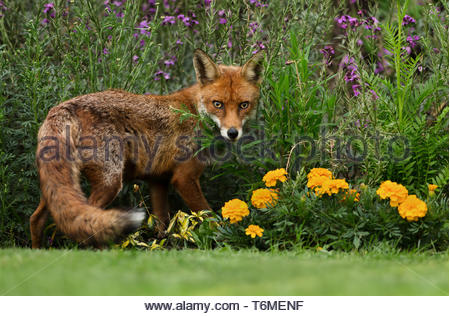 Red fox standing in the garden with flowers - Stock Photo
