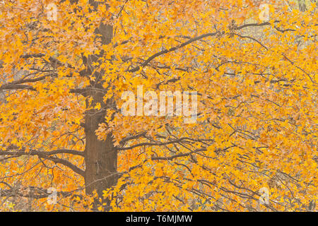 Orange understory foliage of a black oak tree in St. Louis Forest Park on a day in late autumn. - Stock Photo