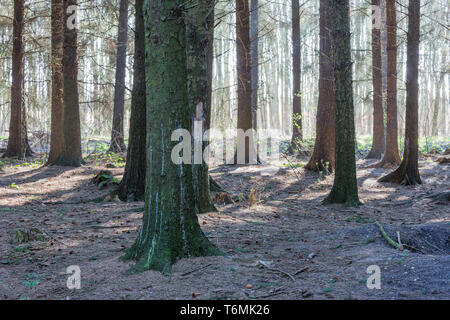 Bare wood with the bright sun shining through the trees - Stock Photo