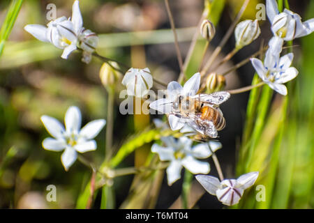 Close up of honey bee pollinating a lilac pretty face (Triteleia lilacina) wildflower, North Table Ecological Reserve, Oroville, California - Stock Photo