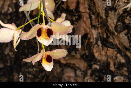 Focus blooming orchid on Tree background, the blossom have white ,purple and yellow interweave. - Stock Photo