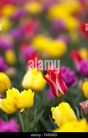 Tulips blooming in a field in Mount Vernon, Washington during the Skagit Valley festival - Stock Photo