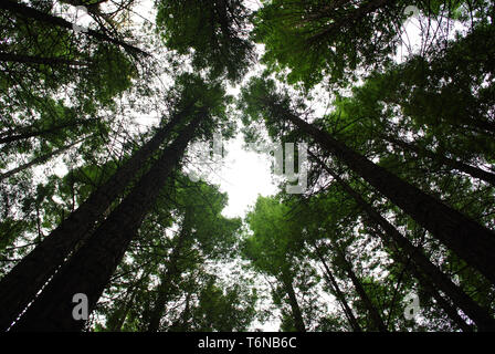 Shot looking up to the sky in the red wood forest - Stock Photo