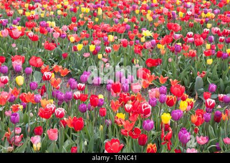 Beautiful coloured tulips in the Netherlands - Stock Photo