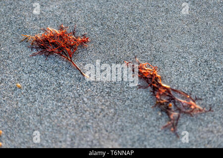 Closeup of washed up seaweed during red tide algae bloom toxic in Naples beach in Florida Gulf of Mexico during sunset on sand - Stock Photo