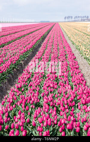 Dutch cultivation of tulip flower bulbs in spring - Stock Photo