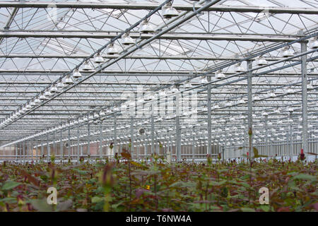 Flower cultivation with roses in a greenhouse - Stock Photo