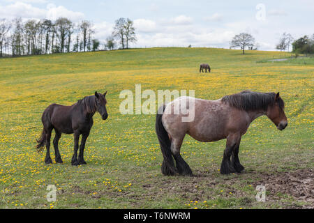 Horses in meadow covered with yellow dandelions - Stock Photo