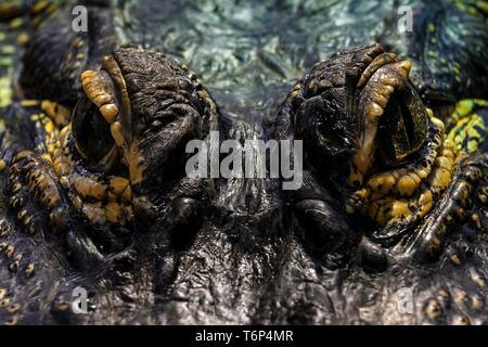 Eyes of the Mississippi Alligator (Alligator mississippiensis), close-up, captive, Germany - Stock Photo