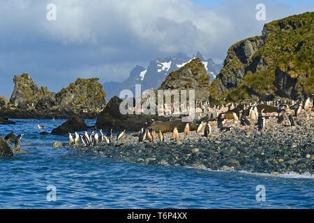 Chinstrap Penguins (Pygoscelis antarctica), penguin colony at the breeding site on the rocky coast, South Georgia - Stock Photo
