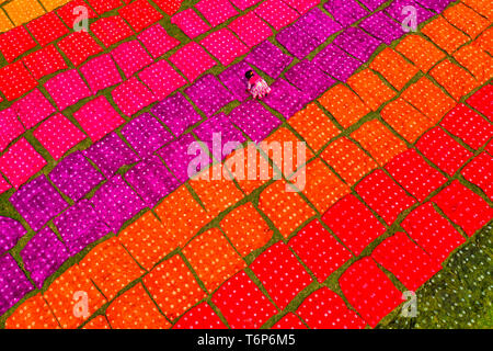 (EDITORS NOTE: Image taken with drone) Workers seen unfolding hundreds of meters of freshly dyed bright red cloth across a field as part of the process of creating traditional Batik.  In this techniques wax is used to create stunning patterns on a huge scale. The wax prevents the dye from penetrating the area it is placed on, allowing workers to create amazingly complex multi-coloured designs. They then soak the cloth in a dying emulsion before rolling the large cotton, silk, or wool cloths in the hot sun to dry. - Stock Photo