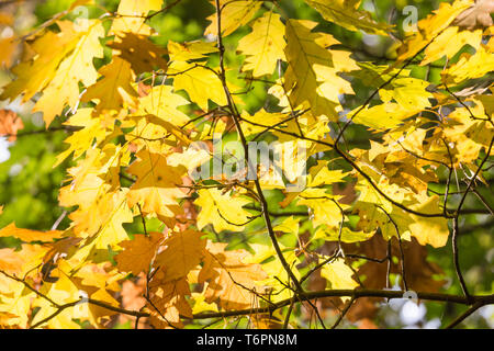 Background of bright sun shining through autumn leaves - Stock Photo
