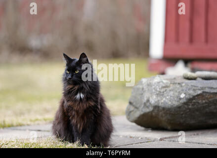 A black norwegian forest cat resting on a concrete pavement on an early spring day - Stock Photo