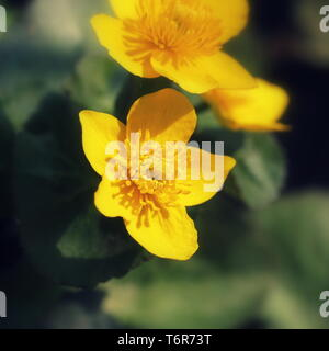 Caltha palustris, known as marsh-marigold and kingcup flowers, selective focus - Stock Photo