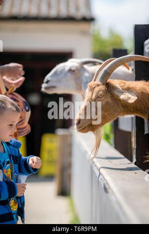Little boy feeding goats  on the farm - Stock Photo