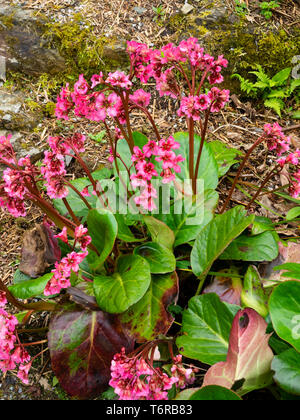 Leathery evergreen foliage and red-pink spring flowers of the hardy perennial, Bergenia 'Bressingham Salmon' - Stock Photo