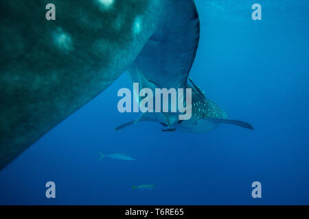 Rear ventral view of a whale shark ( Rhincodon typus ) with remora and rainbow runner fish in Honda Bay, Puerto Princesa, Palawan, the Philippines. - Stock Photo