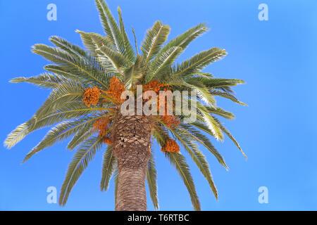 Palm tree with bright orange fruits on blue sky background - Stock Photo