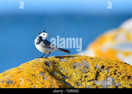 White Wagtail, Motacilla alba, Northern Germany - Stock Photo