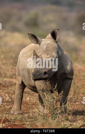 White rhino (Ceratotherium simum) calf, iMfolozi game reserve, KwaZulu-Natal, South Africa, September 2018 - Stock Photo